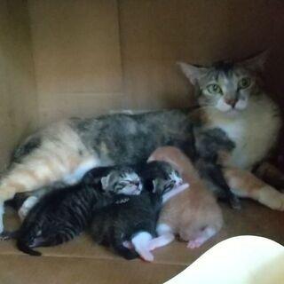 三毛母1才&5/29生子猫 親と一緒に子猫2匹以上で募集中