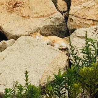 石垣に捨てられてお腹が減っているオス猫 一時預かりでも助かります。