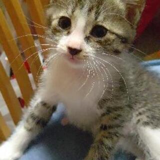 1ヶ月半の子猫(雄)①