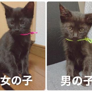 生後1ヶ月半☆黒猫ちゃん子猫の兄弟(オス・メス)