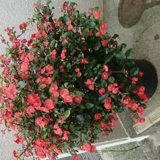 💮とげなし花キリン no2の画像