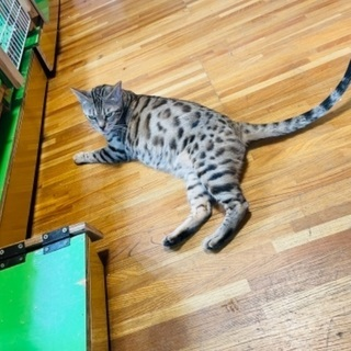 ヒョウ柄のベンガル猫 里親募集 ベンガル猫専門店