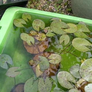 熱帯睡蓮のポット苗