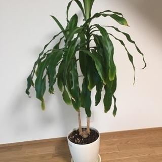 観葉植物 幸せの木