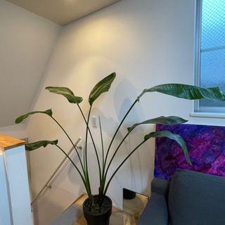《大型観葉植物》《No.61 健康体のオーガスタ 160c…