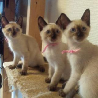 シャム風の子猫
