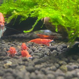 極火蝦 10匹 スーパーレッドチェリーシュリンプ チェリーシュリンプ
