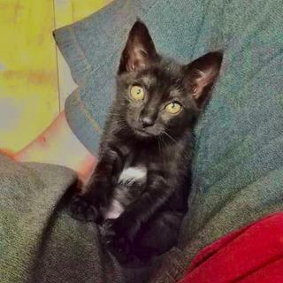 里親募集!黒猫ちゃん♀2ヶ月弱くらいです!