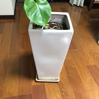 予定者あり 観葉植物 モンステラ 大型 8号サイズ ロングスクエ...