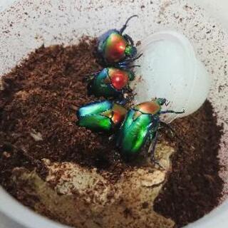 【ラスト】スペキオーサ・ジュッセリーニ幼虫4頭