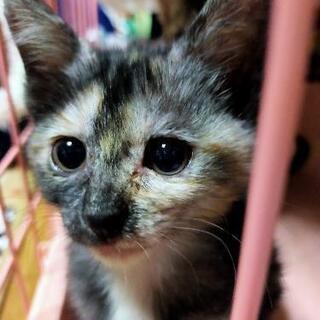 神秘的な模様の女の子♪サビ猫のまっちゃんです。