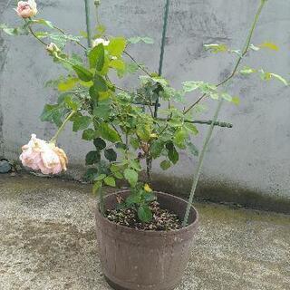 交渉成立!薄いピンクの薔薇の苗木