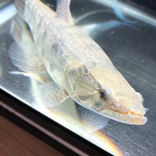 牙魚 タライーラ