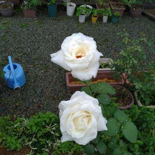 交渉成立!白いバラの苗木