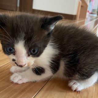 生後1ヶ月の仔猫🍀里親様募集