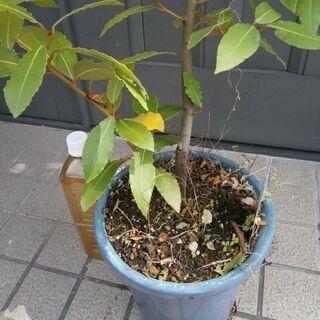 月桂樹(ローリエ)苗+おまけ/北より