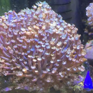 サンゴの譲ります。