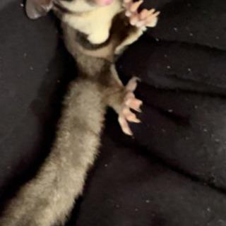 フクロモモンガ  0歳11ヶ月 ♂
