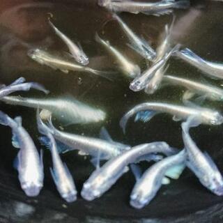 モルフォロングフィン✨若魚 2ペア(4匹)+メス1匹 計5匹 数...