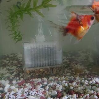 金魚 キャリコ玉サバ 稚魚  (自家産) 20円