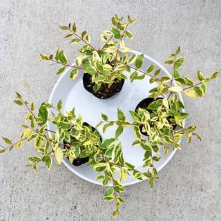 【値下げ】アベリア・ホープレイズ 苗木(残り3株) − 京都府