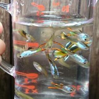 熱帯魚 エンドラーズ 各種類合わせて 50匹+α