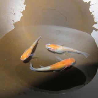 【田舎の水族館】紅白ラメ 有精卵