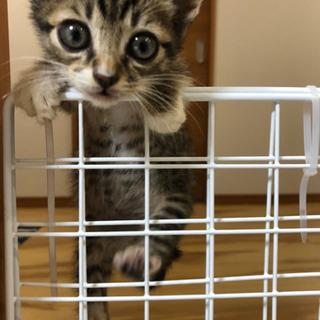 【生後1か月】人間慣れしたメスの仔猫