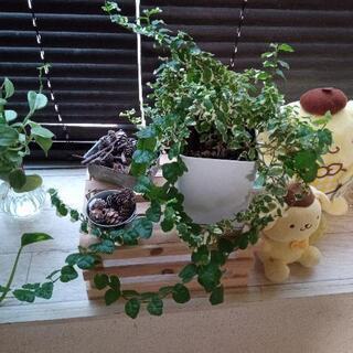 観葉植物 フィカスプミラ?