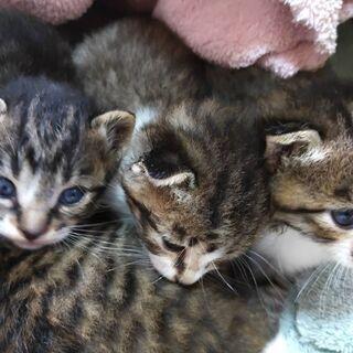 生後2.3週間の子猫