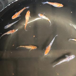 雲州三色メダカ 8匹【卵付き】