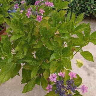 紫陽花(大苗)ダンスパーティー+多種類の挿し木用切枝(アナベル、...