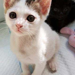 子猫!生後1ヶ月半 女の子