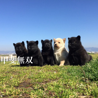日本一の甲斐犬産まれています✨