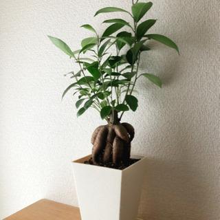 観葉植物 ガジュマル(12) 45cm 3号鉢と受け皿付き