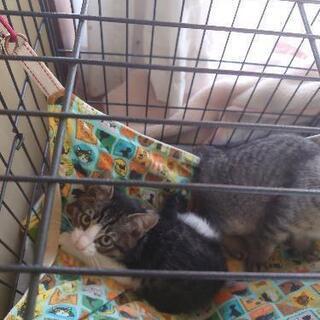 2ヶ月半の子猫