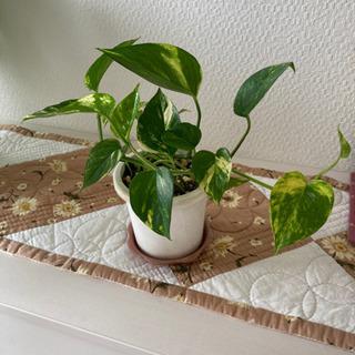 ポトス班入り 観葉植物