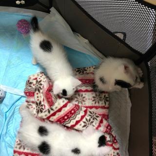 お問い合わせ一時停止とさせて頂きます(代理)生後31日目の子猫3匹です
