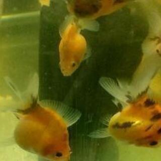 金魚 キャリコピンポン当歳5匹+α1000円