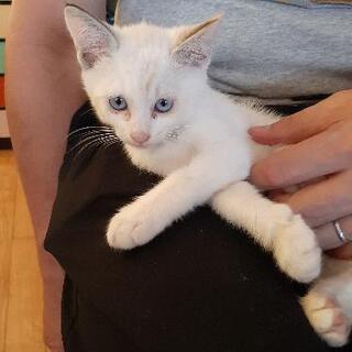 約2か月の♀️白い子猫ちゃん