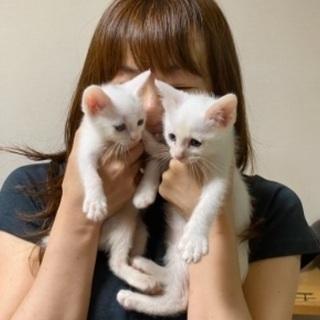 (2匹一緒希望)生後3ケ月弱 人懐こい兄妹白ネコ