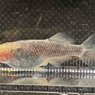 白姫メダカ 稚魚1匹(1センチ前後) 150円