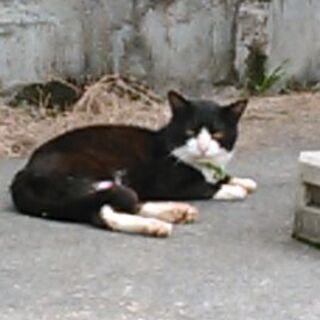 迷子猫の飼い主さんを探しています