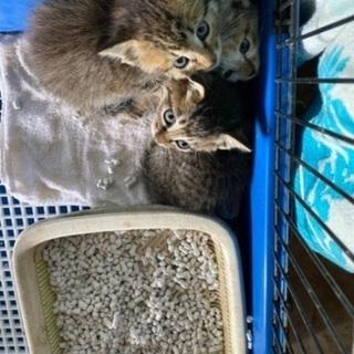 3匹の里親様決定しました/ありがとうございました。1ヶ月半ぐらいの子猫