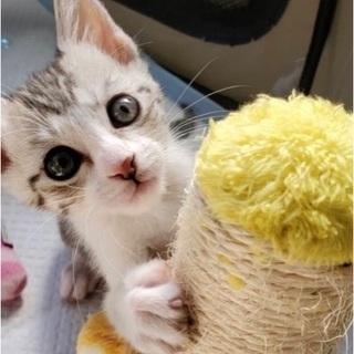 子猫!生後1ヶ月半の女の子🐱