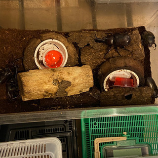 【ネット決済】国産カブトムシ 成虫