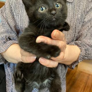 2ヶ月のかわいい黒猫☆こぐまちゃん