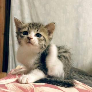 子猫里親募集(2匹まとめてもらってもらえる方)
