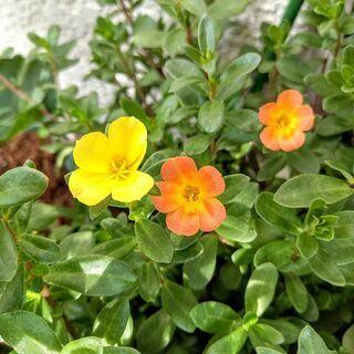 【夏に強いお花】ポーチュラカ 45cm鉢ごと 特大株