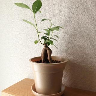 観葉植物 ガジュマル 25cm ナチュラルカラーの3.5号の鉢と...